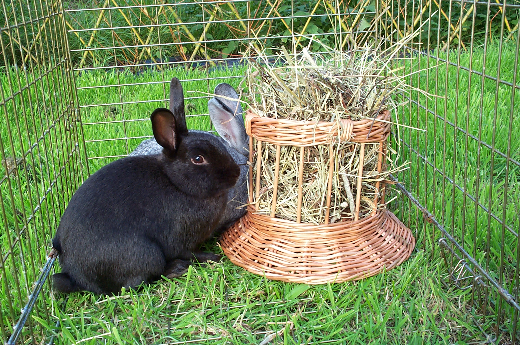 Which plant branches can be given to a rabbit to chew