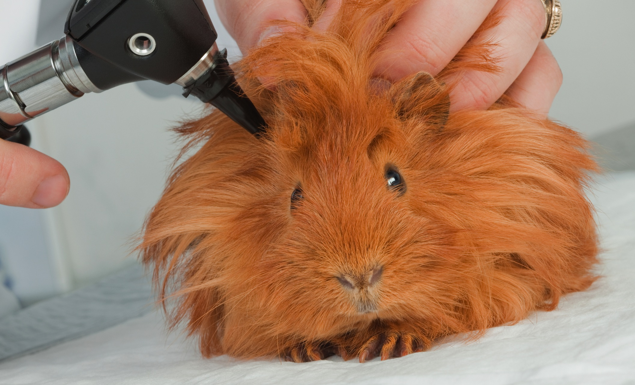 When Does A Guinea Pig Need To See A Vet Celia Haddon