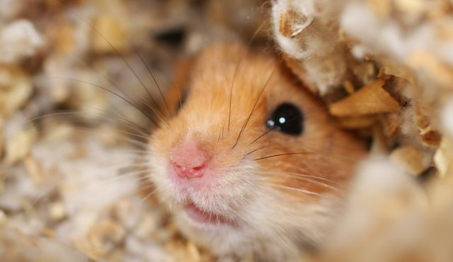 general hamster pic cropped