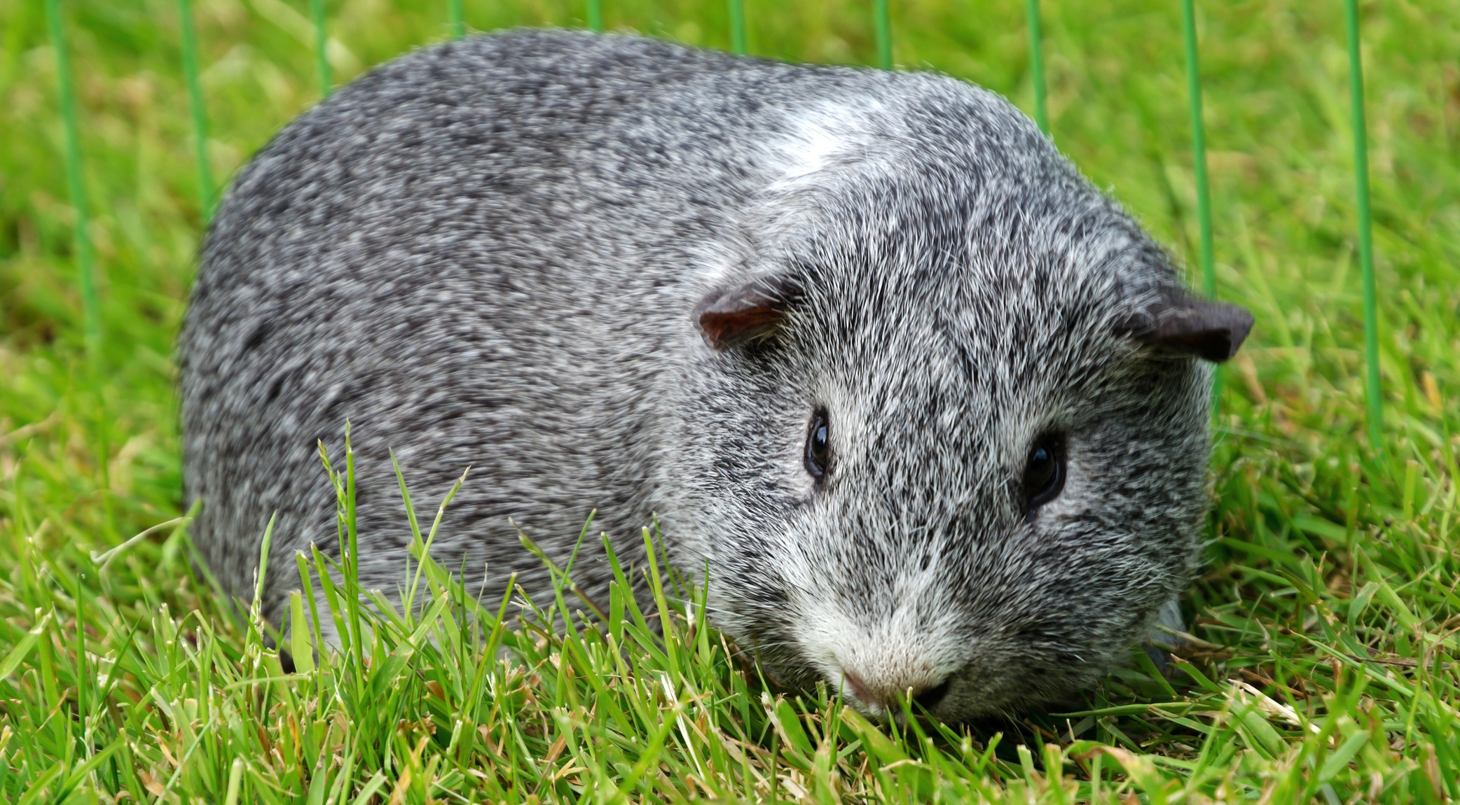 How Do I Keep My Guinea Pigs Healthy In All Weathers