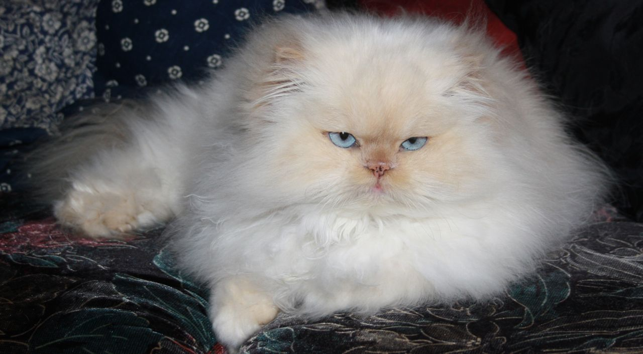 GROOMING IS ESSENTIAL FOR LONG HAIRED CATS – Celia Haddon
