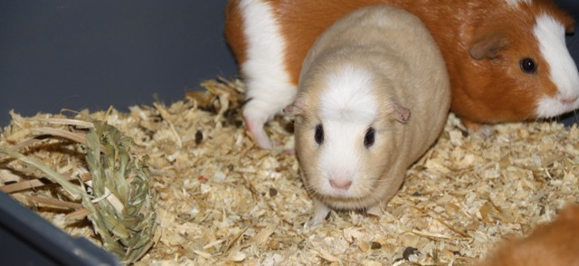 guineapig toy