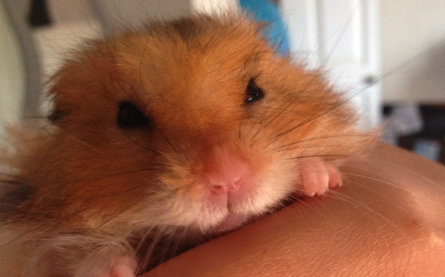 HOW TO TELL IF YOUR HAMSTER IS IN PAIN OR ILL – Celia Haddon