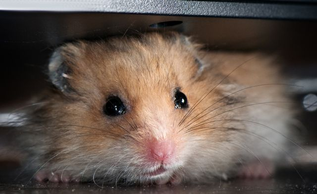 Hamsters are expert escapers